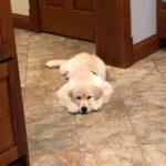 Daisy, Service Dog In Training